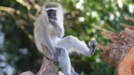 Monkey Cousins Use Similar Calls