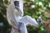 Monkey Cousins Use Similar Calls