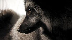 Wild Foxes Can Be Transformed into Pets in a Few Generations
