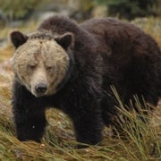 Hair of the Bear: Fur Samples Yield Insights into Grizzlies' Salmon Dependence [Slide Show]