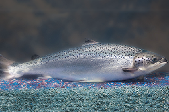First Genetically Engineered Salmon Sold in Canada