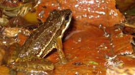 Frogs Use Semaphore Code in Noisy Environments