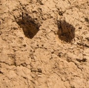 Ancient Footprints Discovered in Arizona