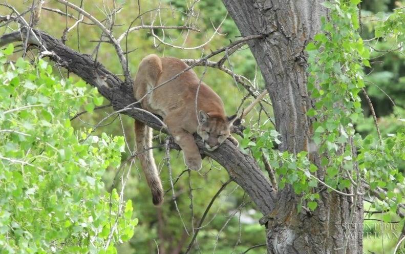 The Secret Social Life of a Solitary Puma