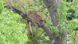 The Secret Social Life of a Solitary Puma