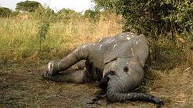 Forensic Tools Battle Ivory Poachers