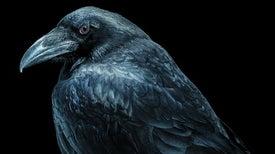 """Birdbrain"" Turns from Insult to Praise"