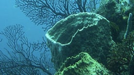 Caribbean Coral Die-off Worries Scientists