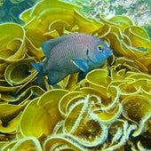 White-tail Damselfish