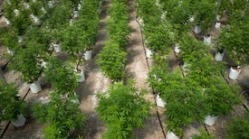 U.S. Called for New Marijuana Research Bids--but Granted No Approvals