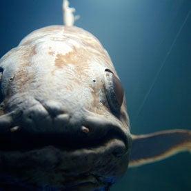'Coelacanth' Genome Unlocked