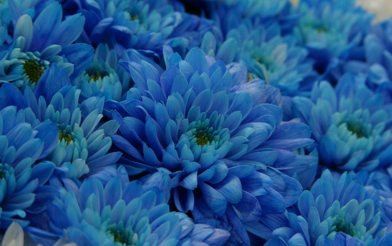 """True Blue"" Chrysanthemum Flowers Produced with Genetic ..."