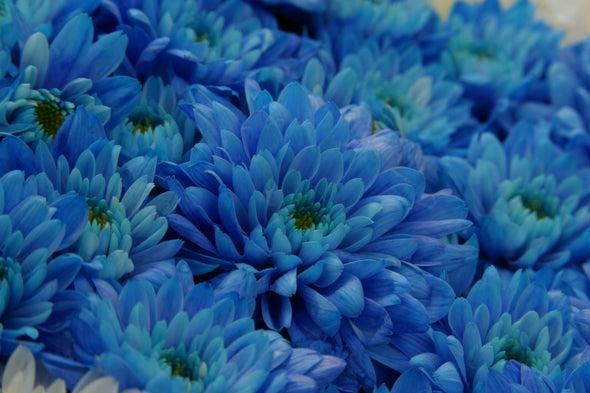 """""""True Blue"""" Chrysanthemum Flowers Produced with Genetic Engineering"""