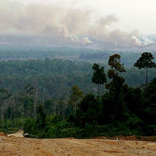 Is Harvesting Palm Oil Destroying the Rainforests?