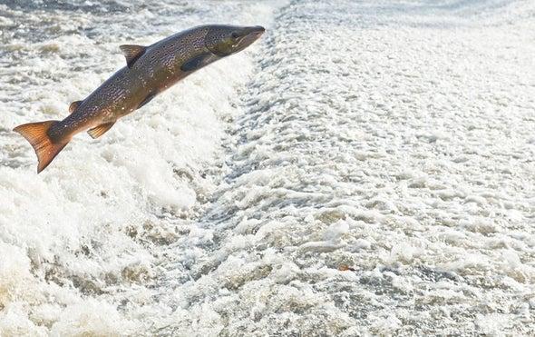 Farmed and Dangerous? Pacific Salmon Confront Rogue Atlantic Cousins