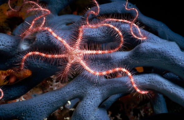 The Brittle Star That Sees with Its Body