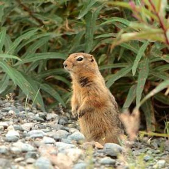 What the Supercool Arctic Ground Squirrel Teaches Us about the Brain's Resilience