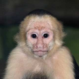 Human See, Human Do--And That Goes for Monkeys, Too