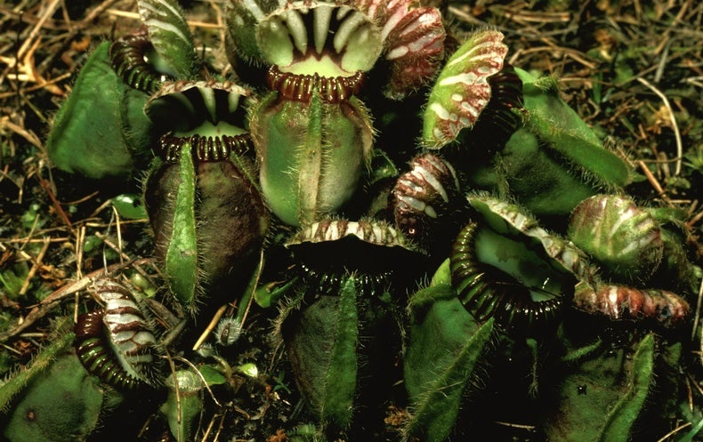 How Plants Evolved into Carnivores