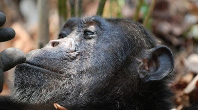 Captive U.S. Chimps Now Have Endangered Species Protection