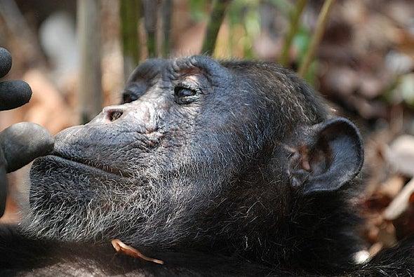 Captive U.S. Chimps Now Have Endangered Species Protection