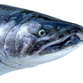 Coho Salmon - proposed for listing