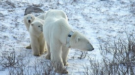 Polar Bears' Dropped GPS Collars Reveal How Ice Drifts
