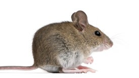 NYC Mice Are Packed with Pathogens