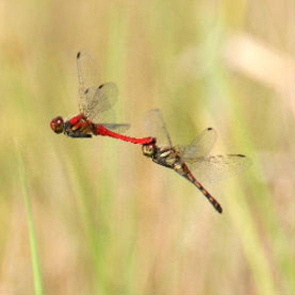 Male Dragonflies Color Shift via Simple Chemical Reaction
