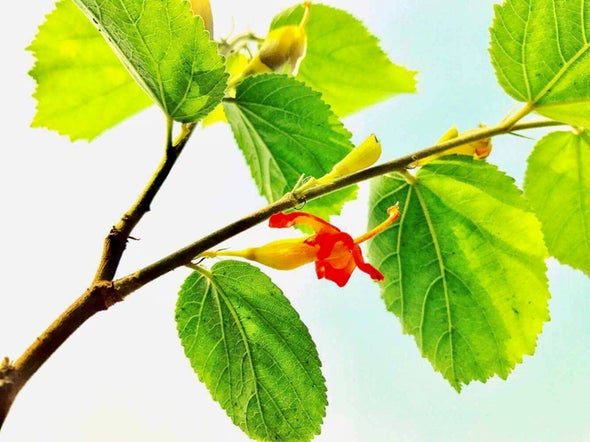 What Is Gymnema Sylvestre and Can It Kill Sugar Cravings?