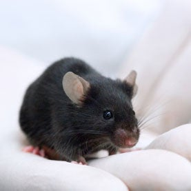 """<em>Homo musculus</em>: Researchers Create a """"Humanized"""" Mouse for Liver Disease Studies"""