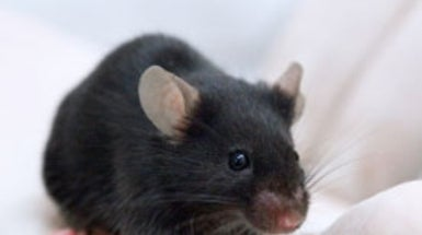 "<em>Homo musculus</em>: Researchers Create a ""Humanized"" Mouse for Liver Disease Studies"