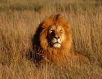 King of Beasts Suffers to Be Beautiful