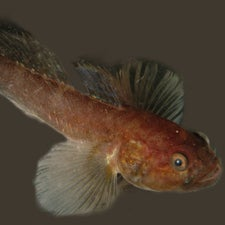 Scourge of the Jellies: Small Fish Shows How Ecosystems Adjust to Potentially Catastrophic Changes [Video]