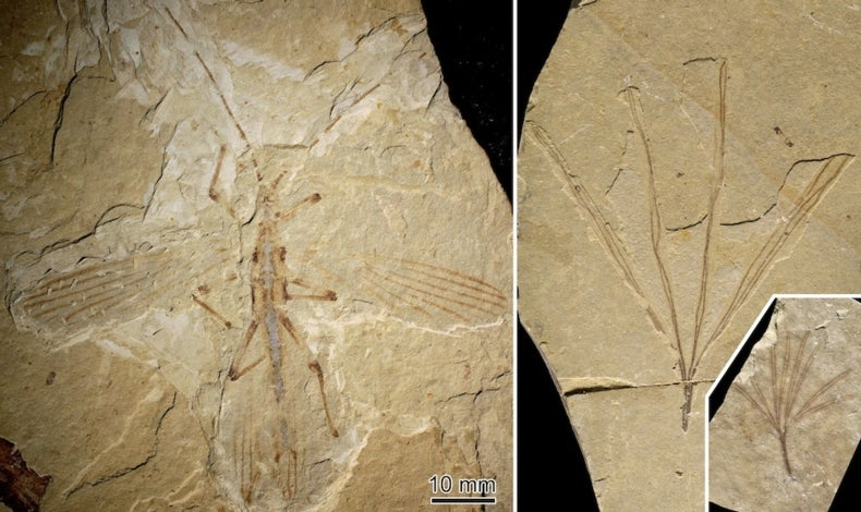 Fossil Matchup Suggests Ancient Stick Insect Mimicked Gingko Relative