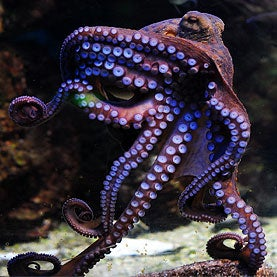 Octopuses Propelled by Wormlike Movement [Video]