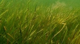 Fish, Turtle and Duck Excrement Helps Spread Sea Grass
