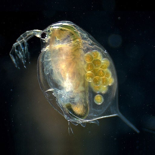 Plankton Culprit Turns Clear Lakes To Jelly
