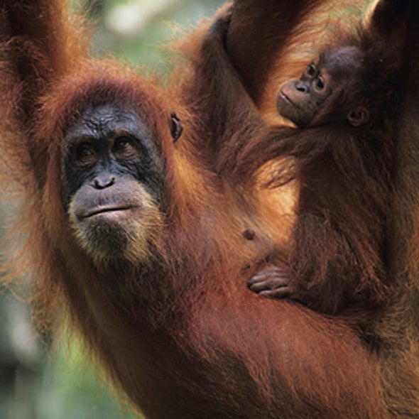 How Does Deforestation Affect Orangutans?
