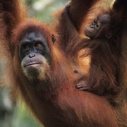 How Does Deforestation Affect Orangutans?