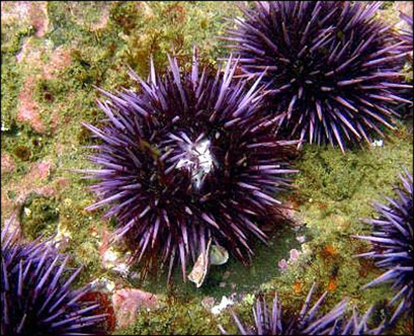 Urchin Genome Exposed