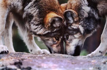 Scientific Panel Faults U.S. Plan to Lift Nationwide Wolf Protections
