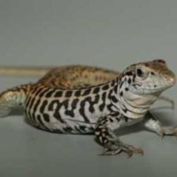 No Sex Needed: All-Female Lizard Species Cross Their Chromosomes to Make Babies