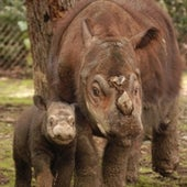 Hairy Rhinoceros