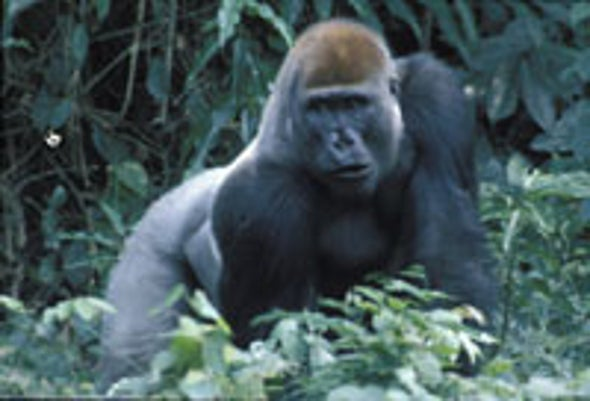 Africa's Great Apes in Peril