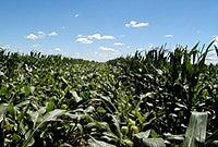 PMP corn