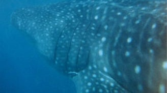 Wildbook for Whale Sharks