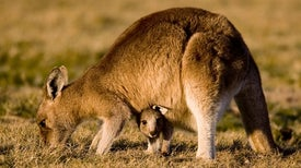 Wallaby Milk Acts as a Placenta for Babies