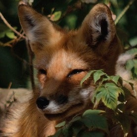 Missing Foxes Fuel Lyme Disease Spread