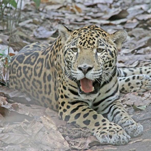 Kitty Corner: Jaguars Win Critical Habitat in U.S.